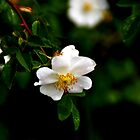 .....and another Dog Rose by Photography by Mathilde