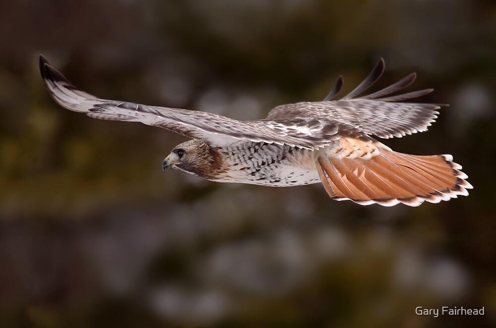 Red Tail Hawk In Flight by Gary Fairhead