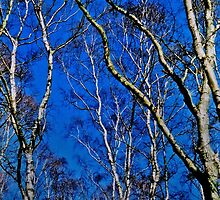 Silver birch trees by Avril Harris