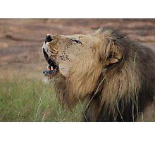 Lion singing - Entabeni Game Reserve Photographic Print