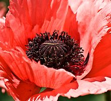 Pink Poppy by LudaNayvelt
