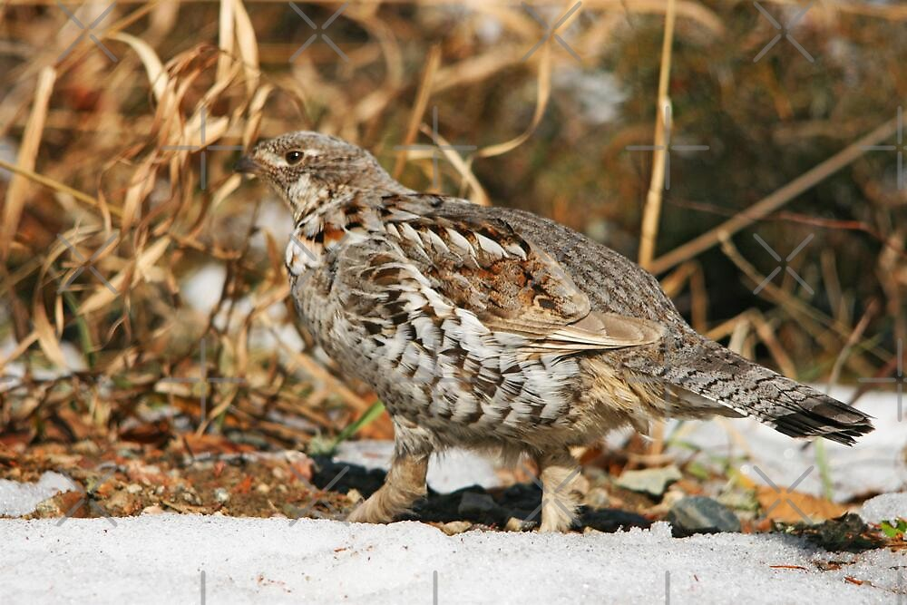 Comical Ruffed Grouse by Vickie Emms