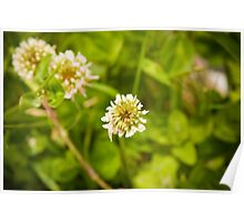White Clover flower-head Poster