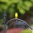 Gold Finch by klziegler