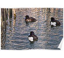 Tufted Ducks Poster