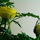 Yellow Rose  by jayant