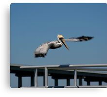 Pelican after the hunt Canvas Print