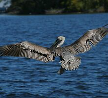 Pelican in hunt by Jcook