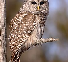 Owl  / Barred Owl Portrait  by Gary Fairhead