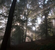 Sunbeams in the forest by nvr72