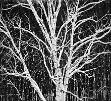 White Birch Tree In Black And White by TDSwhite