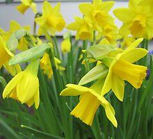 Daffodils in full bloom by Angela Fisher