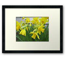 Daffodils in full bloom Framed Print