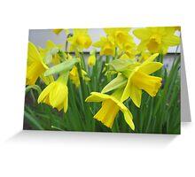 Daffodils in full bloom Greeting Card