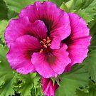 Vibrant Pink Pelargonium Grandiflorum by kathrynsgallery