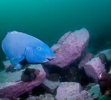 Blue Groper, green water by Erik Schlogl