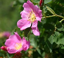 Alberta Wild Roses by Darcy Overland