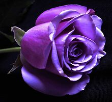 Lavender Rose by Dawn B Davies-McIninch