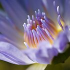 Waterlilly by KathyT