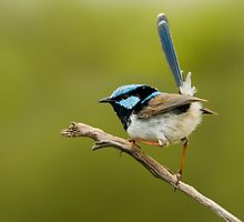 Blue Wren, By Paul Johnson by Paul  Johnson