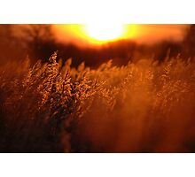 A Fenland Reedbed. Photographic Print
