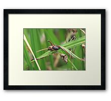 Huge Grasshopper Framed Print
