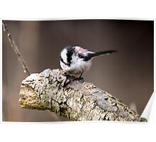 Long Tailed Tit Portrait Poster