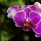Purple Phalaenopsis Orchid by Don White