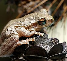 Bleating Tree Frog - Litoria dentata (normal Morph) by Normf