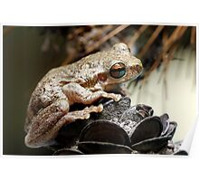 Bleating Tree Frog - Litoria dentata (normal Morph) Poster