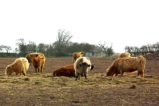 Highland Cattle by Trevor Kersley