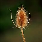 Common Teasel.....(Dipsacus fullonum)  by Magee