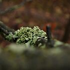 Lacy Lichen, green/grey by Jeff Stroud