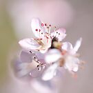 David peach Blossom  by Jacky Parker