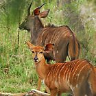 Nyala Antelope by Heather Thorsen