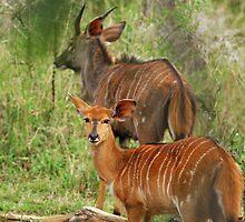 Nyala Antelope by Heather Thorsen
