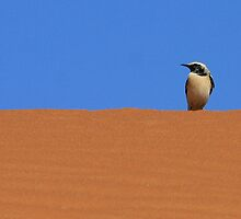 Wheatear on Dune by David Clark