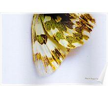 wing detail of Bath White, pontia daplidice Poster