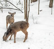 Young Spike Buck and Doe Whitetail Deer In Snowy Woods by MotherNature2