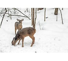 Young Spike Buck and Doe Whitetail Deer In Snowy Woods Photographic Print