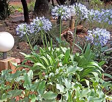 All glorious Agapanthus by Maree  Clarkson