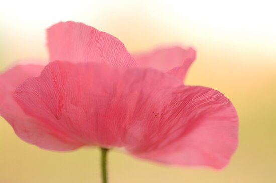 La Poppy by Annie Lemay  Photography