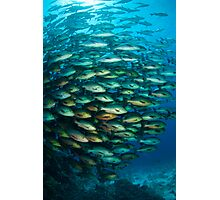 Schooling Snapper Photographic Print