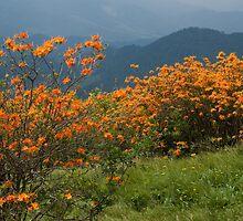 Flame Azaleas on the Appalachian Trail by Jane Best