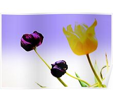 Tinted Tulips Poster