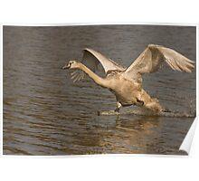 juvenile mute swan Poster