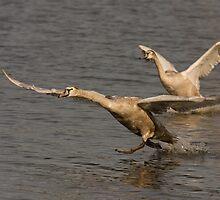 juvenile mute swan by Jon Lees