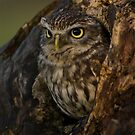 Little owl in a hollow by AngiNelson