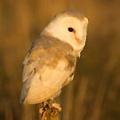 Barn owl at sunset 2 by AngiNelson