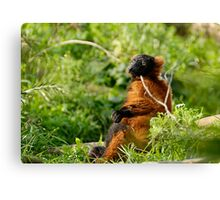 Red ruffed lemur Varecia rubra Canvas Print